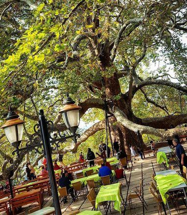 الشجرة التاريخية ببورصه